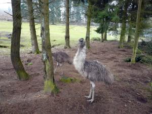 Ein Emu unterwegs